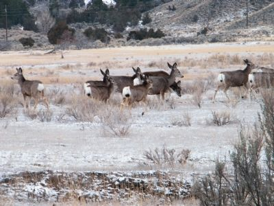 Black-tailed or Mule Deer image. Click for full size.