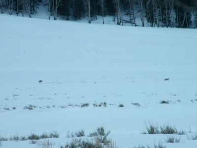 Pair of Coyotes in the distance image. Click for full size.