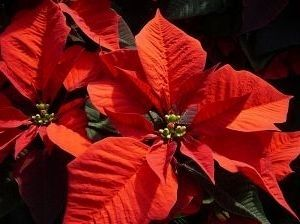 Poinsettia image. Click for full size.