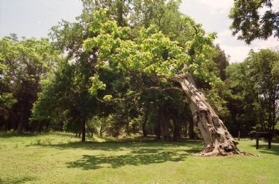 Ellwood Catalpa in 2001 image. Click for full size.