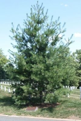 Exercise Tiger Memorial Marker and Eastern White Pine Memorial Tree image. Click for full size.