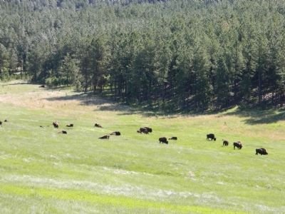 Part of the Custer State Park buffalo herd image. Click for full size.