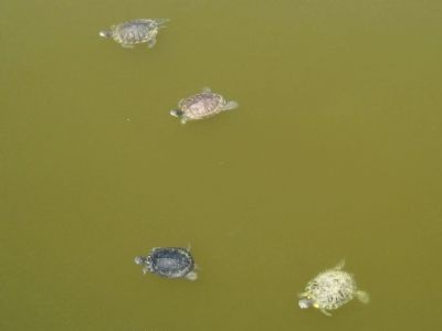Turtles at Reed Canal Park image. Click for full size.