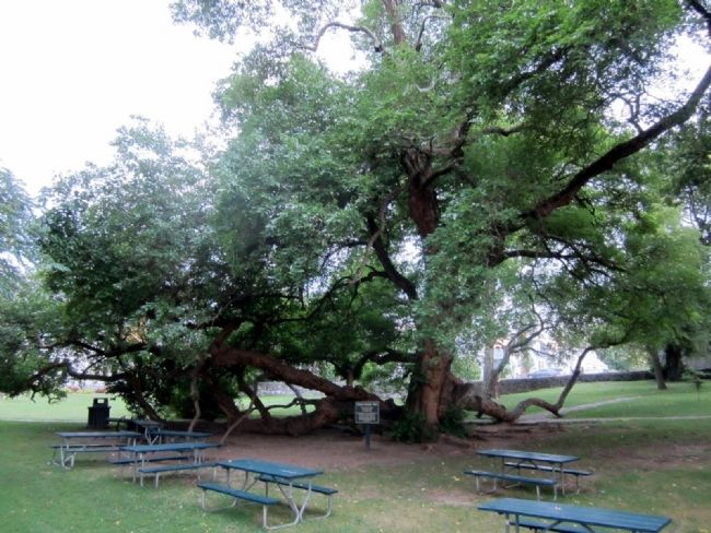 Osage Orange Tree, Unofficial National Champion image. Click for full size.