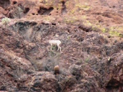 Wild Mountain Goats/Sheep in the Area of the Camp image. Click for full size.