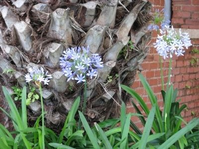 Agapanthus praecox, (Blue African Lily) image. Click for full size.