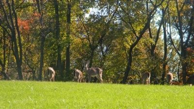 The Oxon Hill Park deer herd, grazing in the pasture near the marker image. Click for full size.