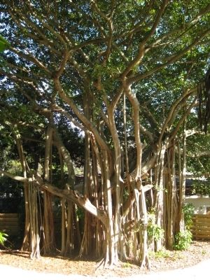 Banyan trees at the base of the temple mound image. Click for full size.