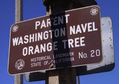 Parent Washington Navel Orange Tree image. Click for full size.