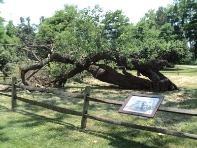 Fallen White Mulberry Tree Marker image. Click for full size.