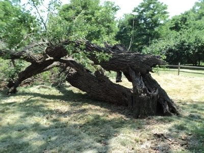 Fallen White Mulberry Tree image. Click for full size.