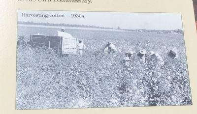 Harvesting cotton 1930s image. Click for full size.