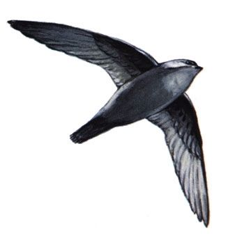 A Chimney Swift image. Click for full size.