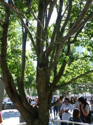 "The ""Survivor Tree"" - north of Liberty Street on the World Trade Center Memorial site image. Click for full size."