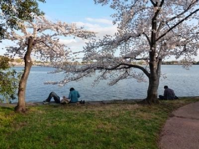 Cherry trees in bloom, Spring 2012 image. Click for full size.