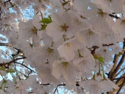"White blossoms on one of the ""gift "" cherry trees from Japan image. Click for full size."
