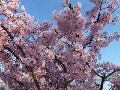 Pink blossoms on another of the gift cherry trees from Japan image. Click for full size.