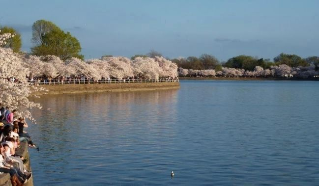 Japanese cherry trees in bloom on the Tidal Basin image. Click for full size.