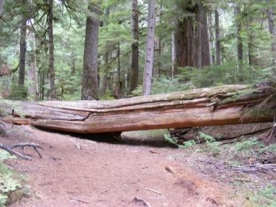 Old Growth Forest image. Click for full size.