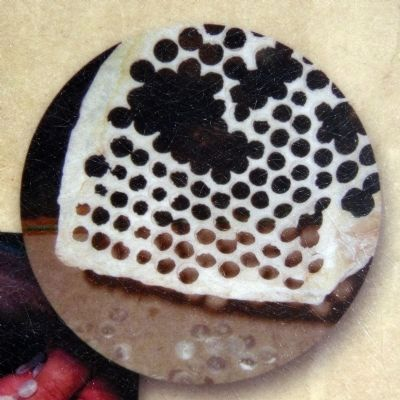 Shell with Button Holes image. Click for full size.