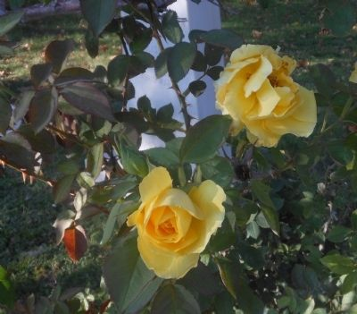Brewster County Jail WWII Monument w/ Yellow Roses of Texas image. Click for full size.