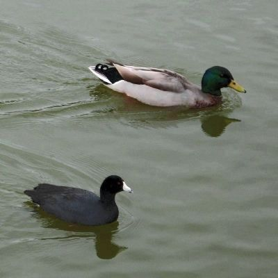 Coot and Mallard image. Click for full size.