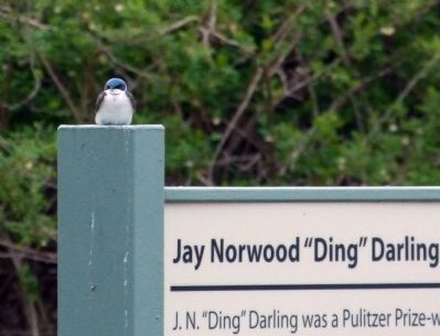 Tree Swallow on the marker post image. Click for full size.