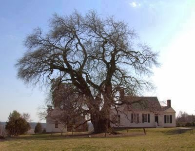 The Osage Orange Tree and Patrick Henry's House at Red Hill image. Click for full size.