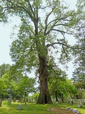 Old Hollow Willow Oak image. Click for full size.