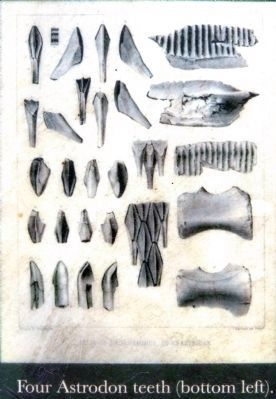 Four Astrodon teeth (bottom left). image. Click for full size.