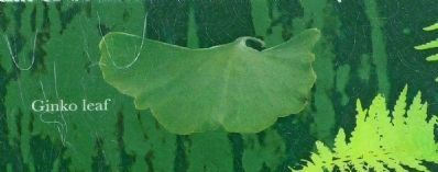Ginko Leaf image. Click for full size.