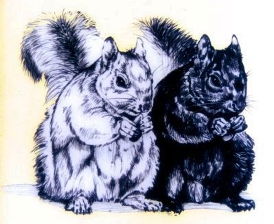 Black and Gray Squirrels image. Click for full size.