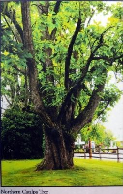 Northern Catalpa image. Click for full size.