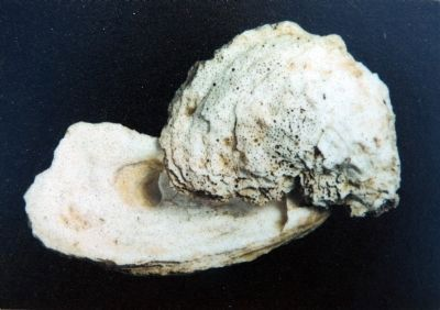 Oyster Shells (Seasonal down through the Centuries) image. Click for full size.