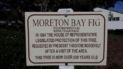 Moreton Bay Fig Marker image. Click for full size.