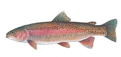 Rainbow Trout (Oncorhynchus mykiss) image. Click for full size.