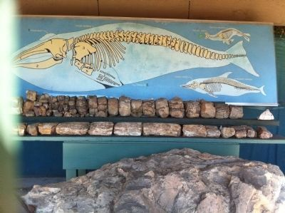 Whale Fossil Display image. Click for full size.