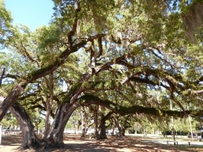 Giant Live Oak Trees image. Click for full size.