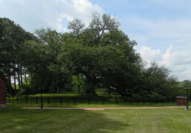 Emancipation Oak image. Click for full size.