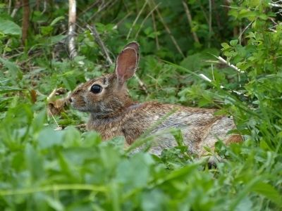 Eastern Cottontail (Sylvilagus floridanus) image. Click for full size.