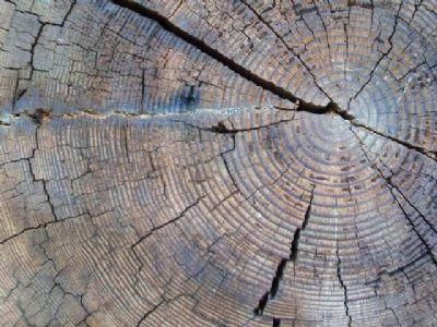Douglas Fir Growth Rings Detail image. Click for full size.