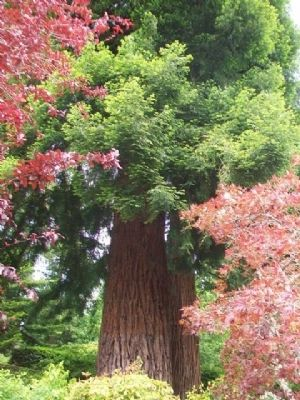 Giant sequoias Behind the Rose Garden Markers image. Click for full size.