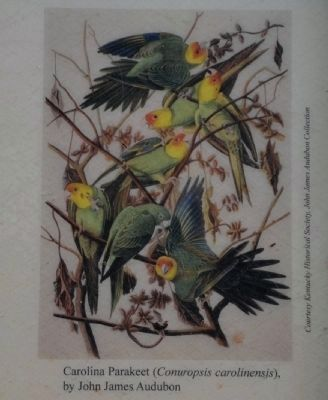 The Carolina Parakeet image. Click for full size.