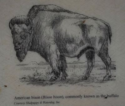 American Bison (Bison bison), commonly known as the Buffalo (Courtesy Mudpuppy & Waterdog, Inc.) image. Click for full size.