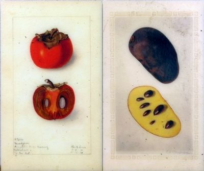 Persimmon and Pawpaw image. Click for full size.