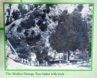Mother Orange Tree (<i>inset photo close-up</i>) image. Click for full size.