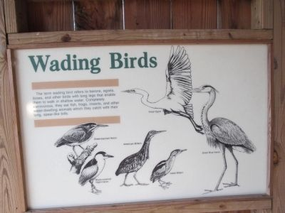 Wading Birds information image. Click for full size.