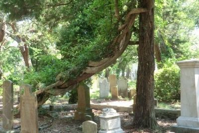 Old Burying Ground-Unusual tree image. Click for full size.
