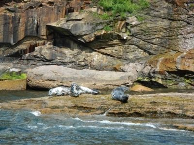 Grey Seals, Bird Islands image. Click for full size.
