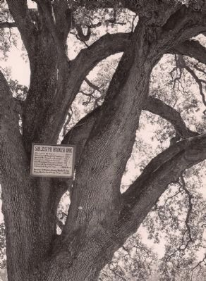 Sir Joseph Hooker Oak image. Click for full size.